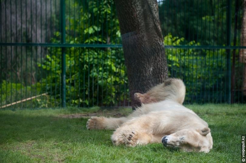 Білий ведмідь Алькор