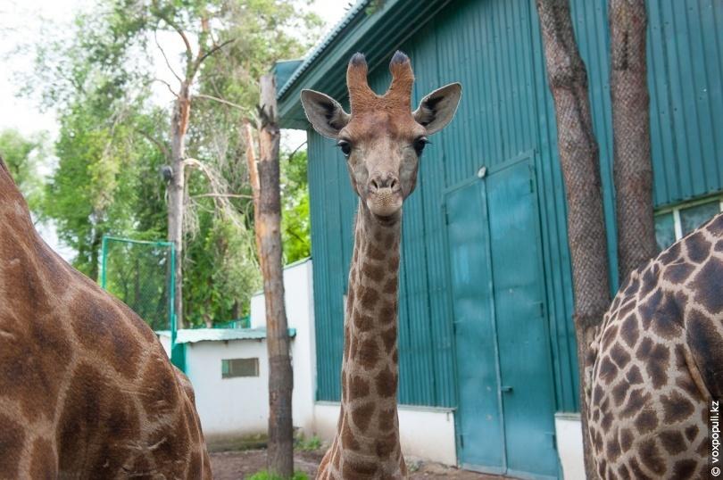 Жирафёнок Максим