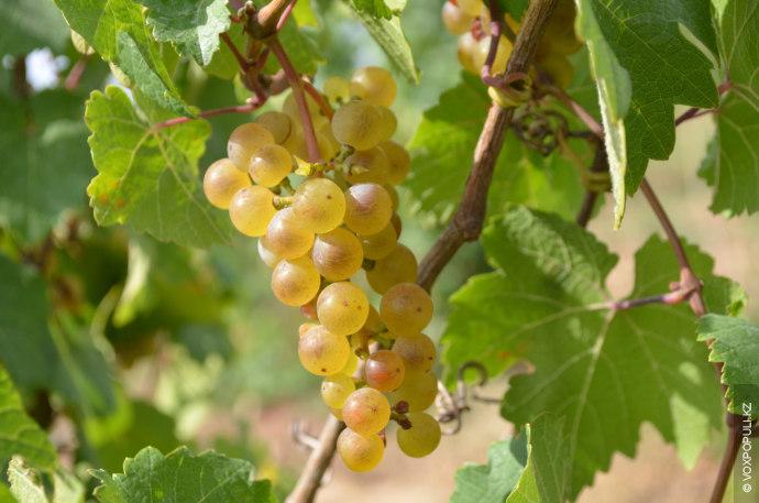 Одним из возрожденных виноградников является так называемый казахстанский рислинг. В отличие от его французских аналогов,...