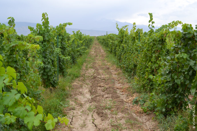 Хорошая почва для выращивания винного винограда должна быть сухой и богатой микроэлементами. Каракемер подходит под...