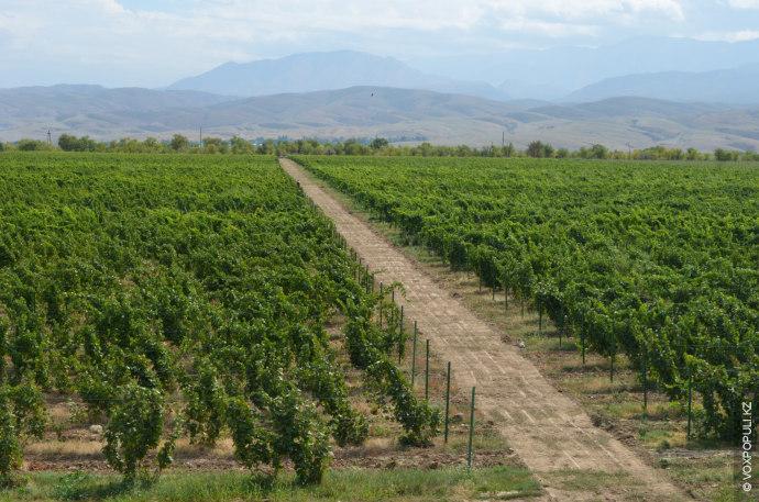 Климат здесь также благоприятствует виноделию. По ночам ветер с гор приносит холодный воздух, который освежает...