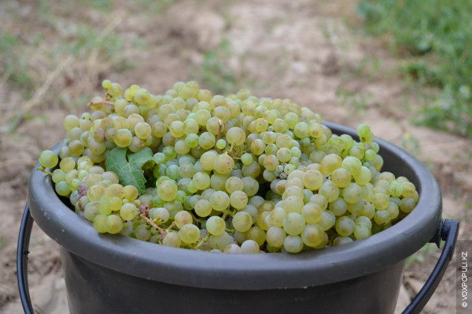 Период сбора винограда определяют по содержанию сахара. Для красного вина оптимальная сахаристость составляет 22–23%, а...