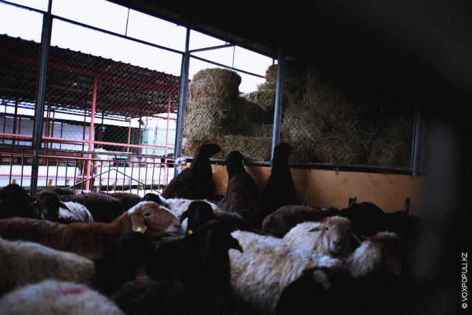 На алматинском скотном дворе продают баранов трех пород: едильбай, гиссар и меринос.  Бараны породы Едильбай (курдючные...