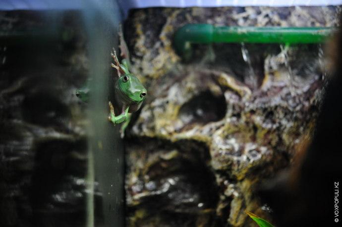 – Голубая лягушка содержится в палюдариуме, а это довольно дорогое удовольствие. Нужно знать некоторые тонкости,...