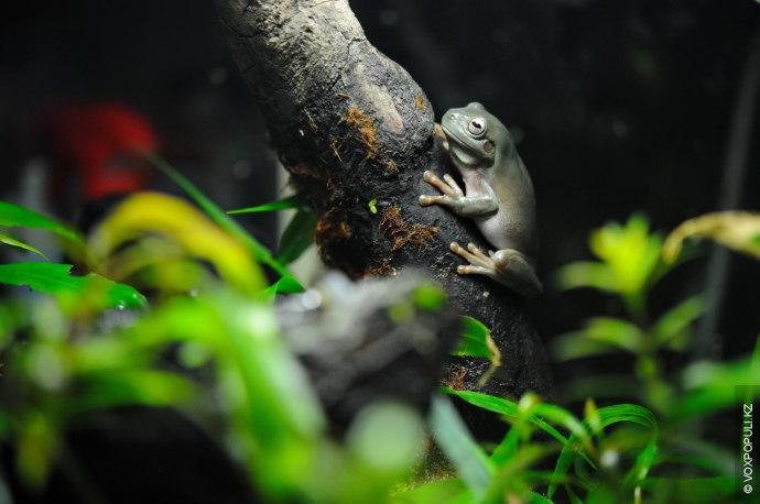 А это литория голубая, австралийская древесная лягушка или просто австралийская квакша. Она очень активная, но...