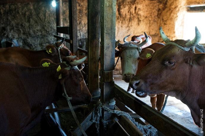 Приехав сюда, я сразу же окунулся в трудовые будни. Только что с пастбища пригнали коров...