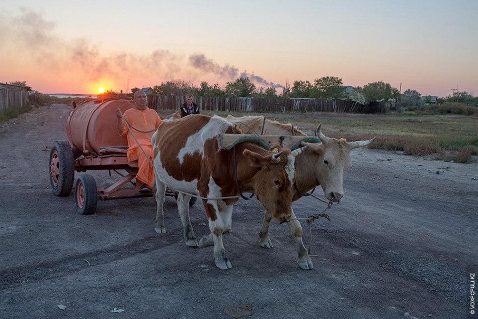 Клички быков – Нарасимха и Нитай. У быков нет заднего хода, поэтому разворот на узкой...