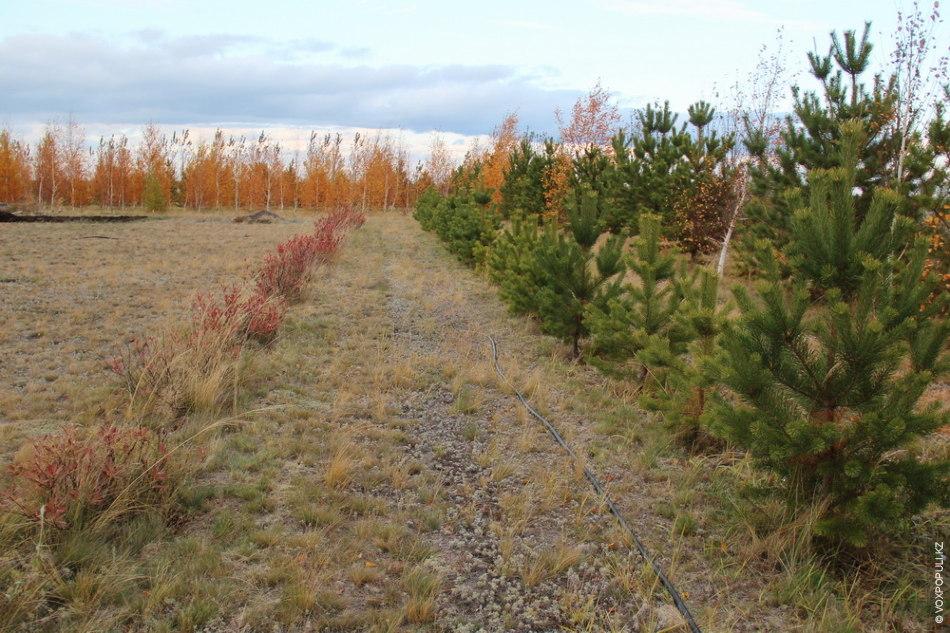 Гашеки подчеркивают, что любят степь, и полностью превращать ее в тайгу не собираются. Лучшей климатической...