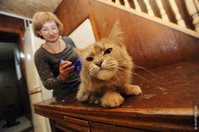Одна из самых крупных в мире пород кошек – мейн-куны. Взрослые коты, как правило, весят...