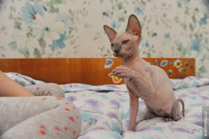 – Котята-сфинксы после рождения требуют особого ухода. Первые дни их кормят с пипетки специальной смесью....