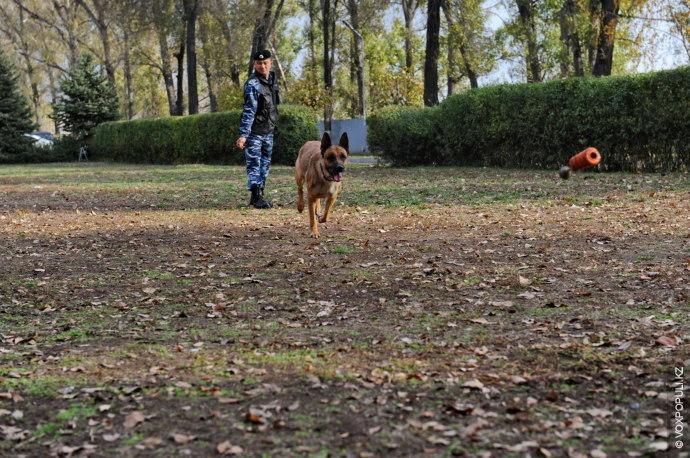 В питомнике МВД РК содержится около 100 собак таких пород, как немецкая овчарка, бельгийская овчарка,...