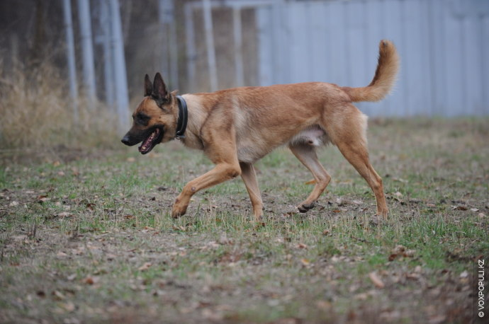 Кличку шестилетний пес получил в честь древнегреческого бога войны. Средняя продолжительность жизни бельгийской овчарки составляет...