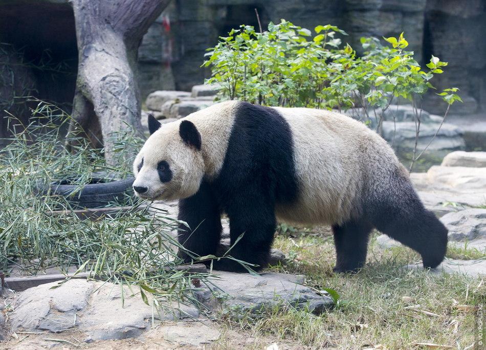 Большая панда. Строго охраняется государством и является национальной эмблемой Китая. За убийство большой панды грозит...