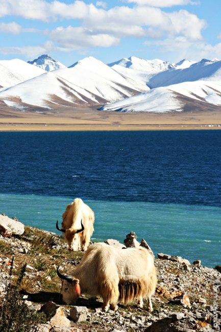 На берегу можно увидеть стада  пасущихся белоснежных яков
