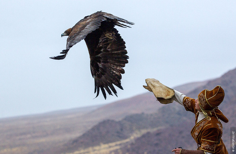 На охоту аксакал выходит в одиночку или вместе с загонщиками. В первом случае охотники едут...