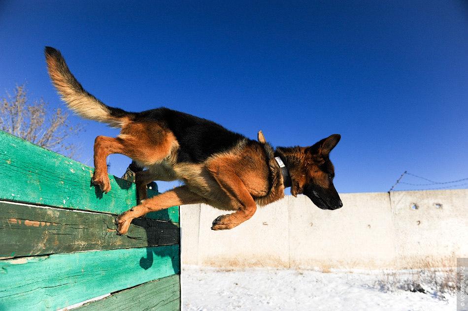 На отдельном полигоне проводится тренировка собак. Служебным собакам необходимо научиться преодолевать барьеры. Кроме того, ...