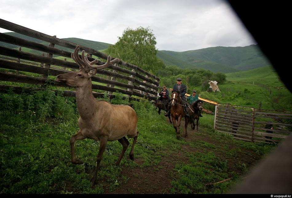 Загонщики выбирают одного марала и отбивают его от остального стада