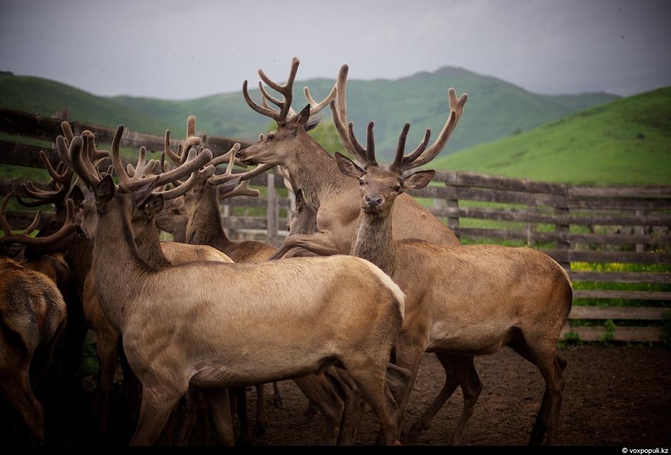 Из стада отбирают только тех, чья макушка пантов достигает 5-7 см