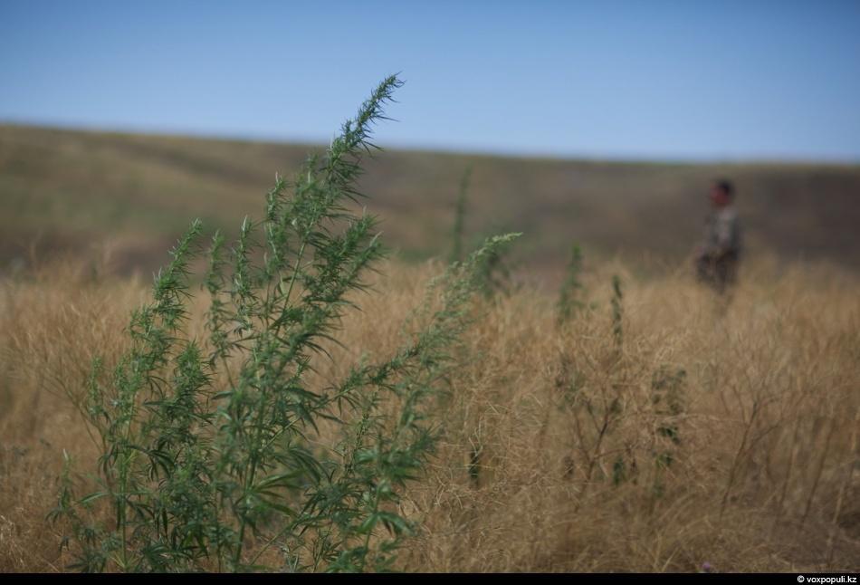 Конопля чуйская долина фото конопля куст на дачном участке