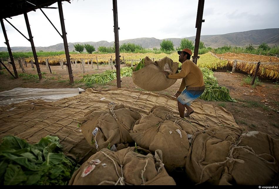 Как выращивают табак - фото 0009