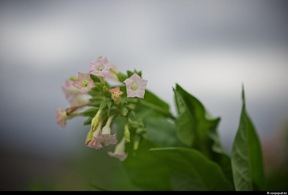 Как выращивают табак - фото 0023