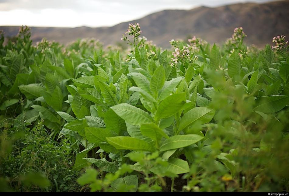 Как выращивают табак - фото 0003