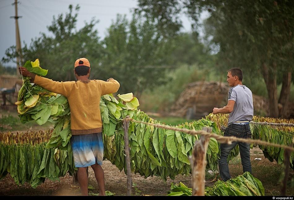 Как выращивают табак - фото 0017
