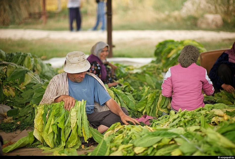 Как выращивают табак - фото 0012