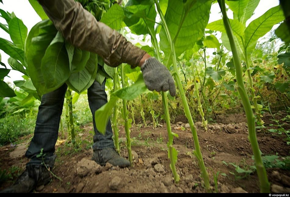 Как выращивают табак - фото 0005