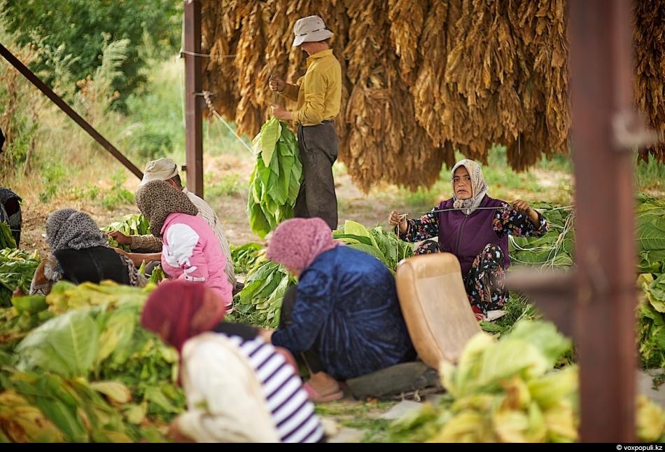 Как выращивают табак - фото 0011