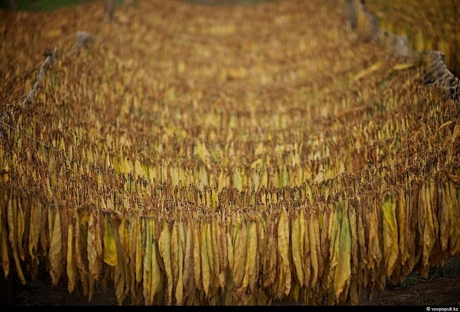 Как выращивают табак - фото 0020