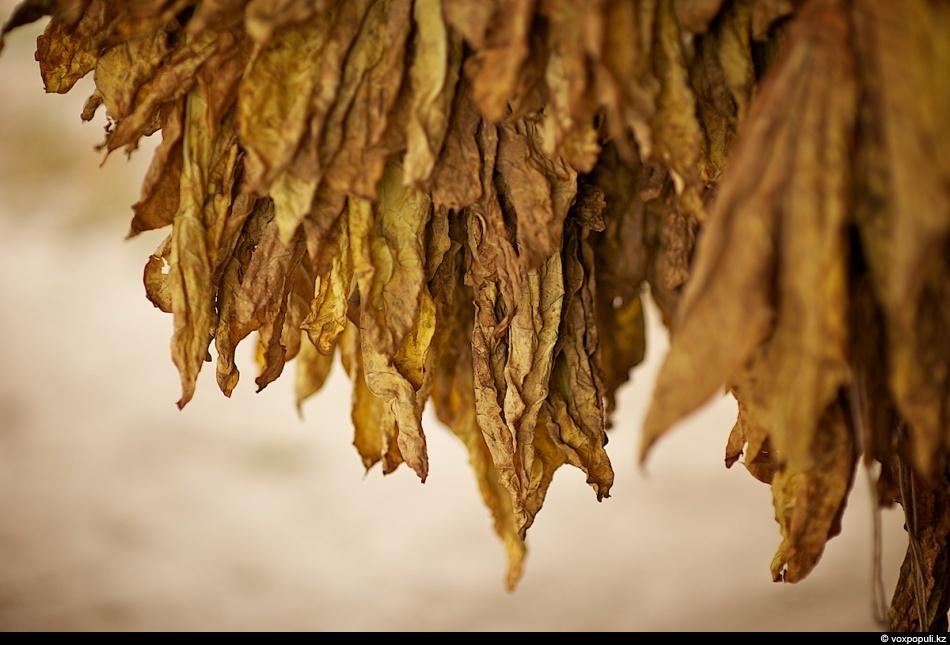 Как выращивают табак - фото 0021
