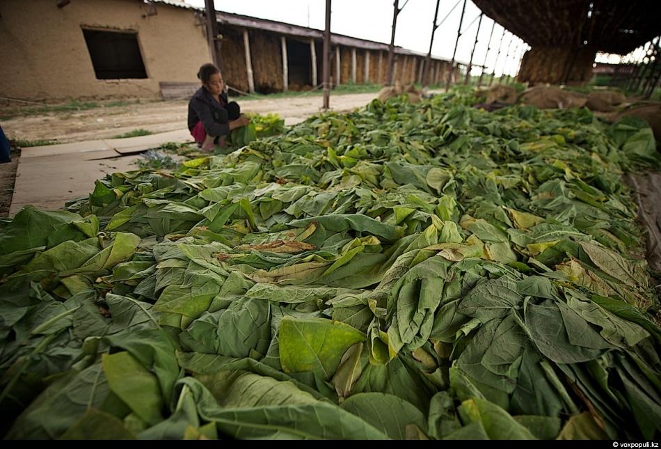 Как выращивают табак - фото 0010