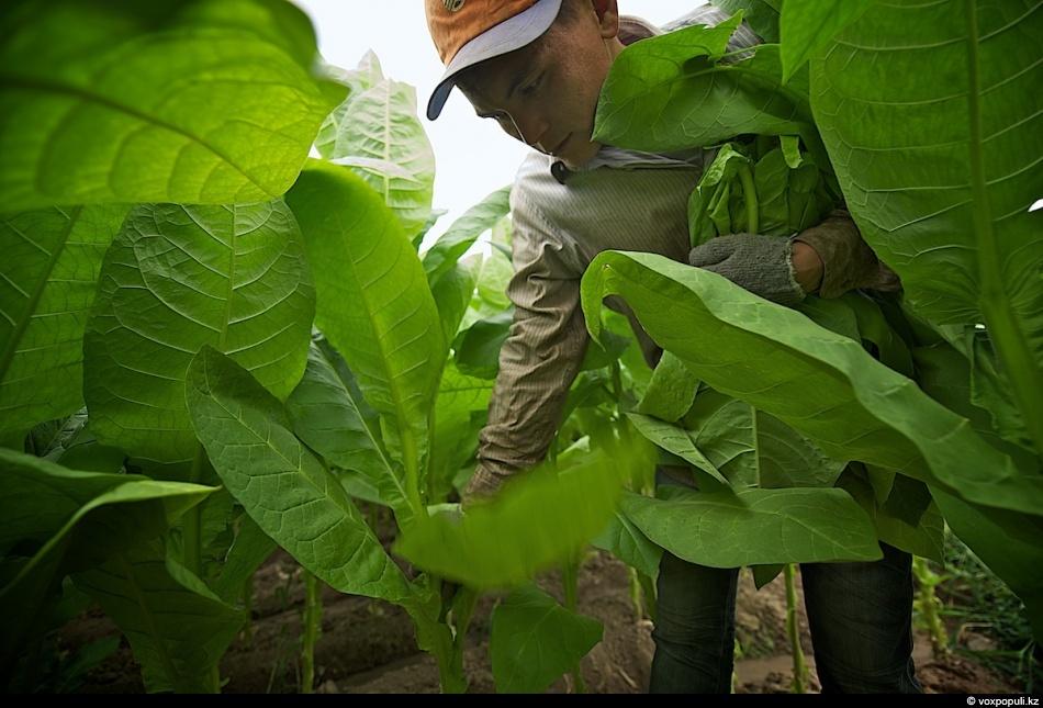 Как выращивают табак - фото 0004