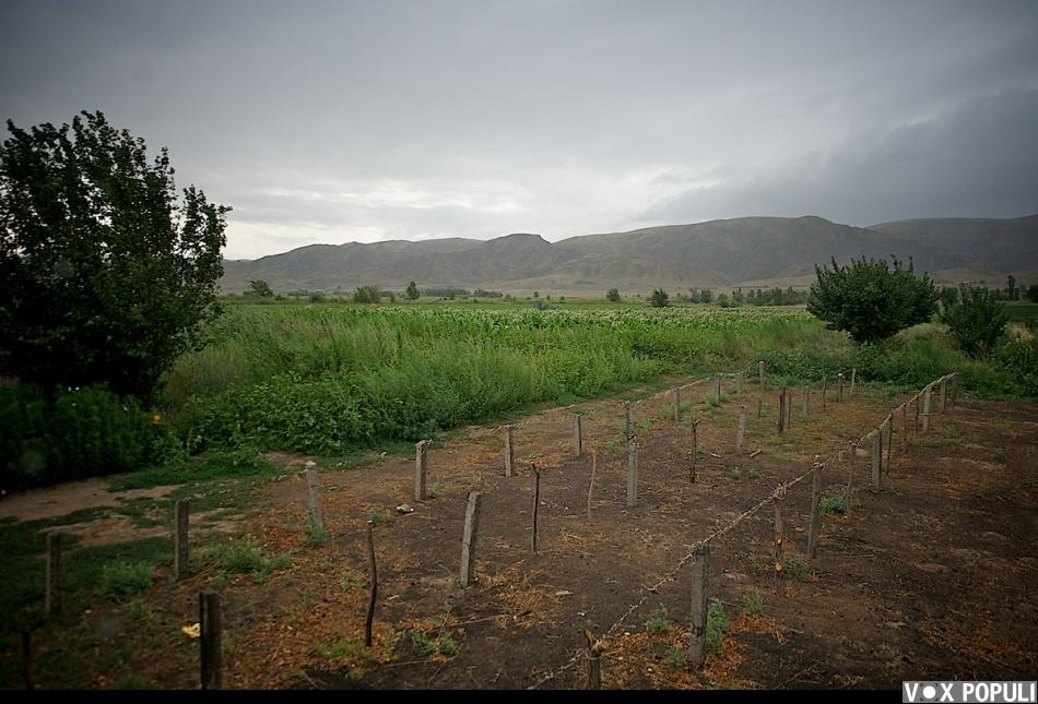 Как выращивают табак - фото 0002