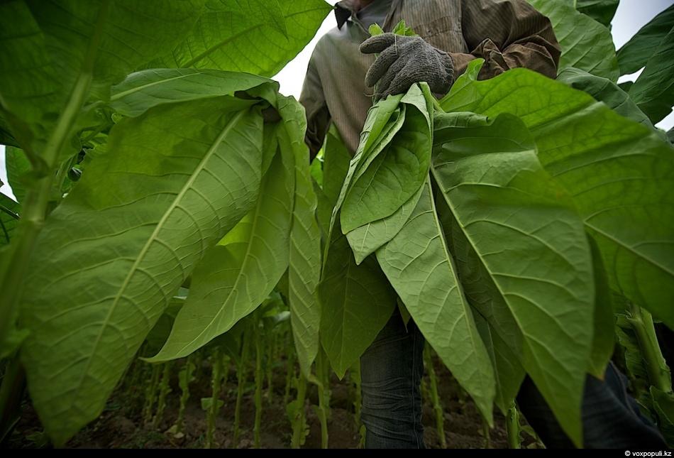 Как выращивают табак - фото 0006