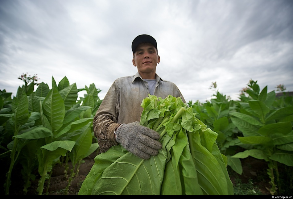 Как выращивают табак - фото 0001