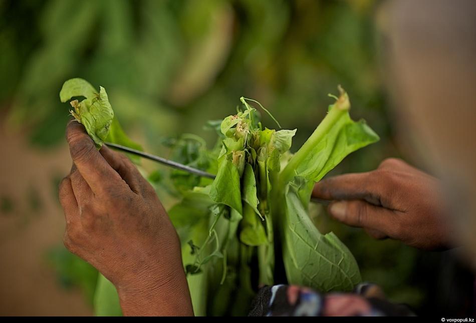 Как выращивают табак - фото 0015