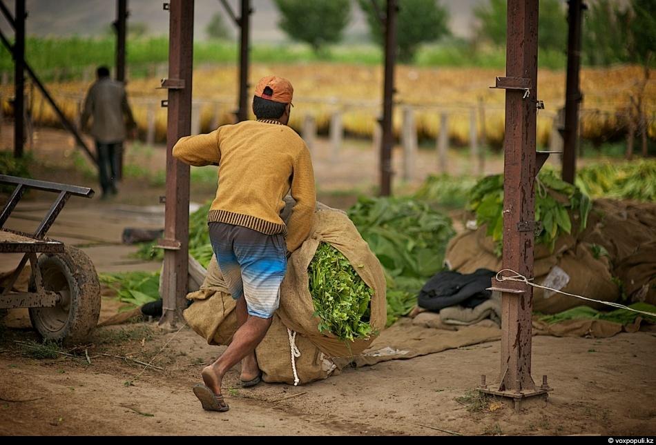 Как выращивают табак - фото 0007