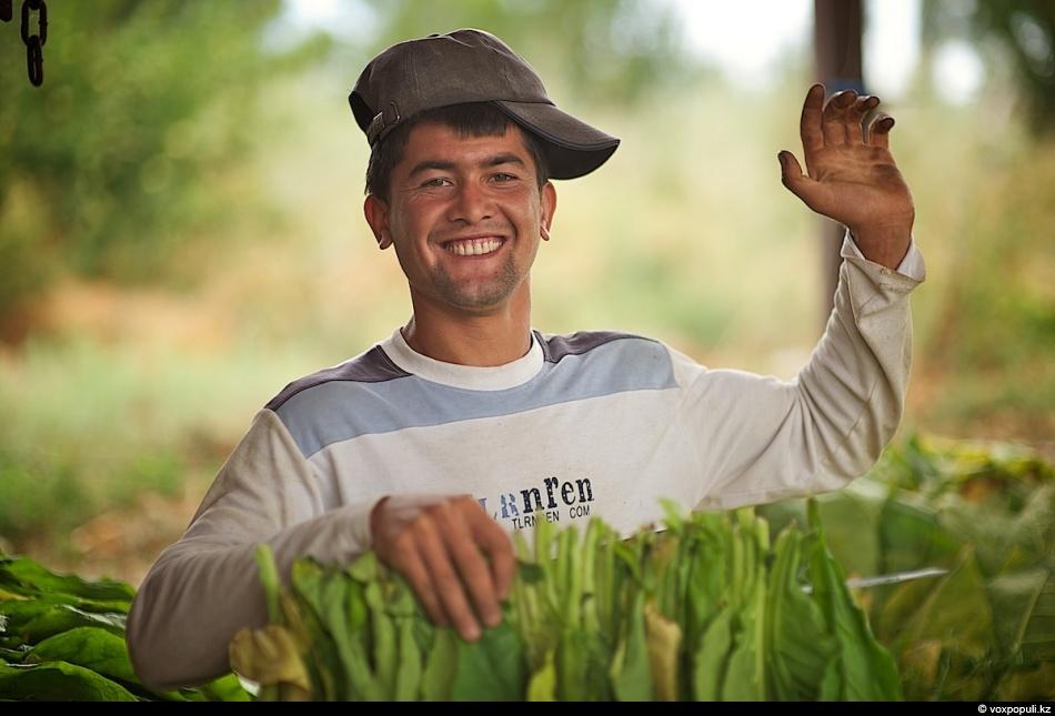 Как выращивают табак - фото 0014