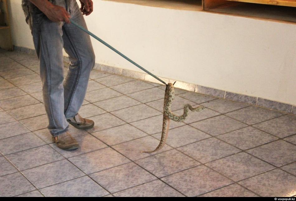 Крючок также применяют в лабораторных условиях. Им удобно переносить змей на короткое расстояние. К...