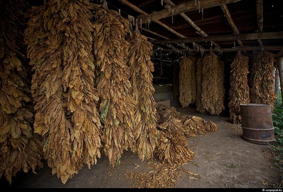 Как сдают табак. Часть вторая - фото 0003