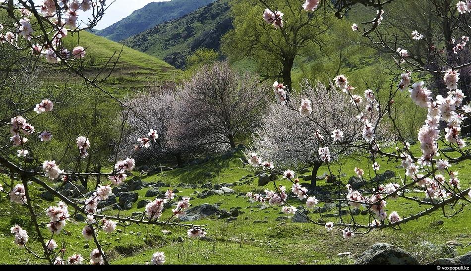 Дикий абрикос в Казахстане называют урюком. В апреле его цветение покрывает склоны горных ущелий покрывалом...