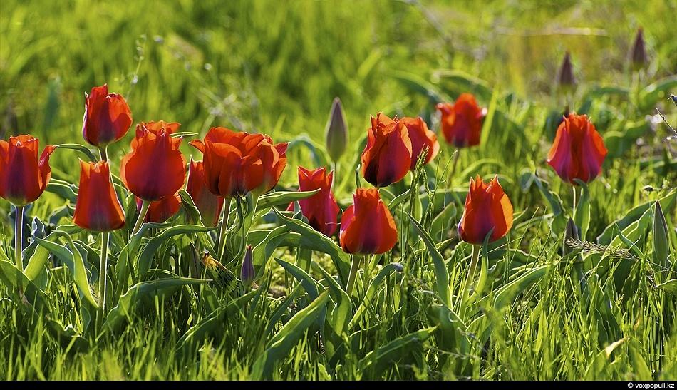Тюльпаны Грейга (Tulipa greigii) в горах Каратау. Этот один из самых красивых и крупных видов...