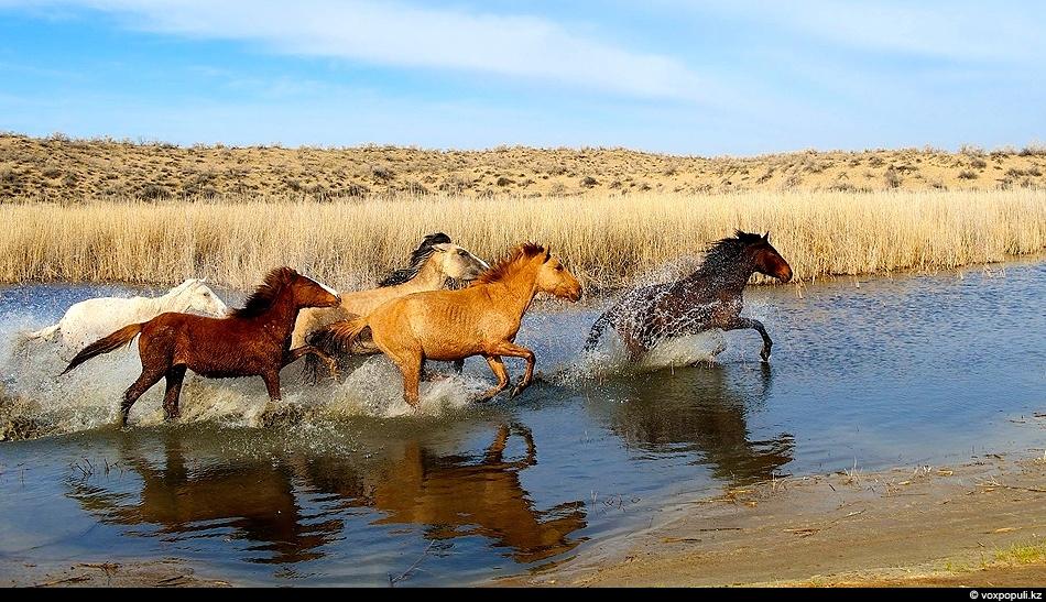 Как и в древние времена табуны лошадей оглашают окрестности топотом своих копыт. Пустыня Мойинкум