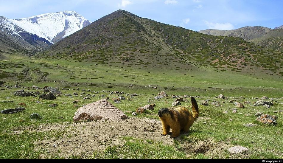Красный сурок у своей норы в верховьях ущелья Мерке. Кыргызский хребет