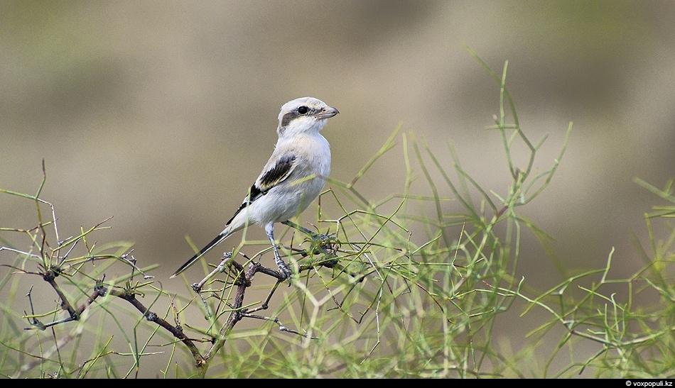 Молодой пустынный серый сорокопут недавно покинул гнездо. Жизнь еще не приучила его к осторожности и...