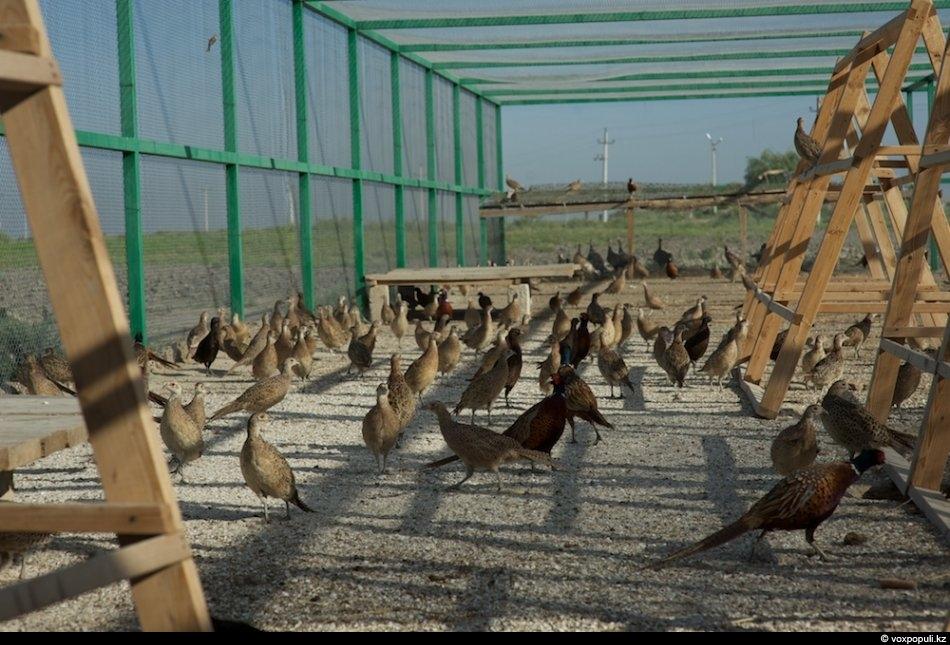 Разведения фазанов в домашних условиях бизнес 532