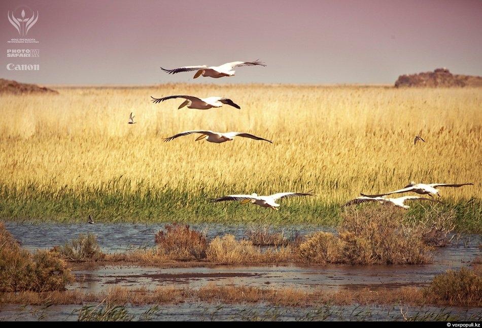 Озеро Балхаш и летящие над ним пеликаны