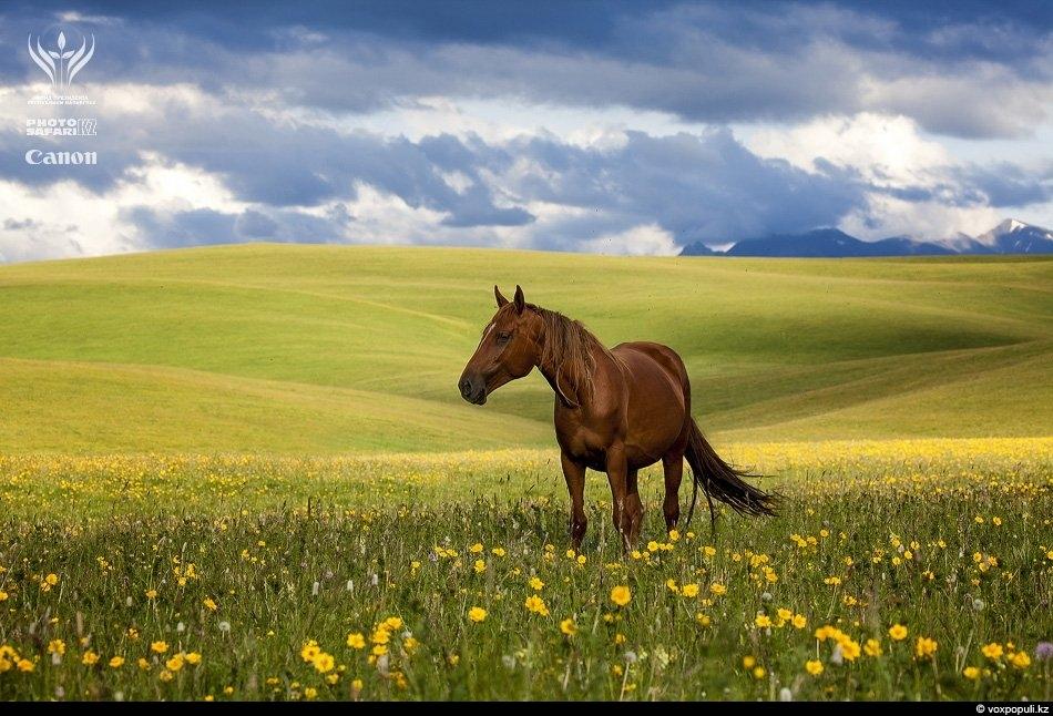 На фоне мягких изгибов холмов Табан-Карагая мирно бродят благородные кони